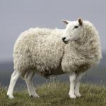 Zoek je een schaap met vijf poten?